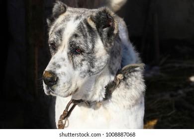 Head of Caucasian, black and white Shepherd - gampr