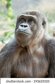 Head and chest of a female Western Lowland Gorilla (Gorilla gorilla gorilla) looking up and to the left in a pensive and wistful way