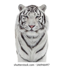 The head and chest of a white bengal tiger in snowflakes, isolated on white background.
