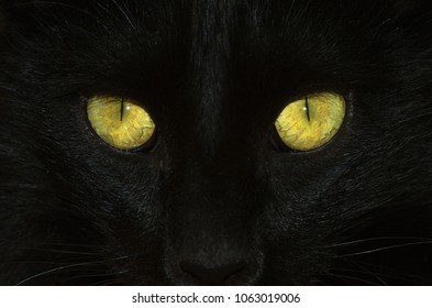 Head close up of a black cat detailing yellow and green eyes with a slit form pupil and visible venation. Tip of nose and whisks compose the frame.