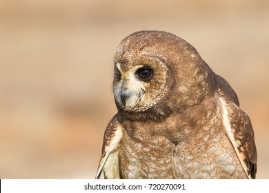Head close up of an owl, South Africa
