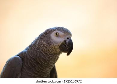 Head of a congo grey parrot. Portrait of wild bird.