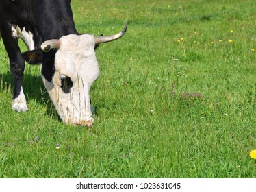 Head of a cow against the pasture