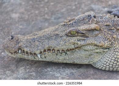 Head of crocodile, alligator