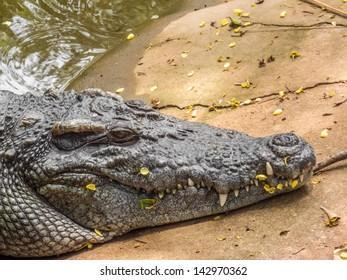 Head of crocodile in closeup
