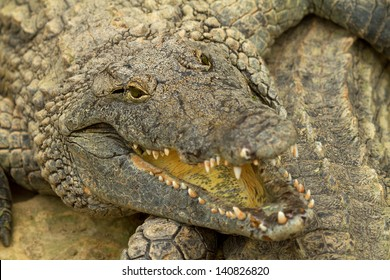 Head of crocodile in closeup focused on the eyes
