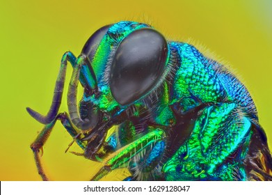 the head of cuckoo wasp from genus Chrysis