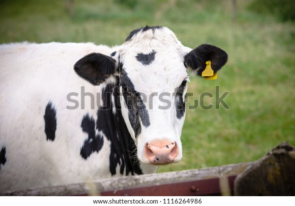 The head of the cunning cow in close-up, with yellow identification tags in the ears. Standing behind a wooden fence of a meadow or grassland