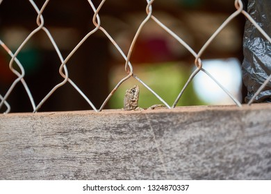 Head of Curly Tailed Lizard poking out of wood fence