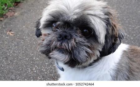 The head of a cute dog : a cross between a maltezer and a shih tzu