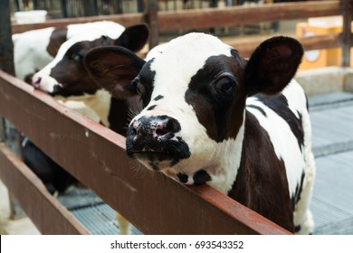 Head of Cute Little Black and White Baby Cow or Calf in Nursery Cowshed or Livestock Cage  at Rural Farm in Thailand as Agriculture Concept.