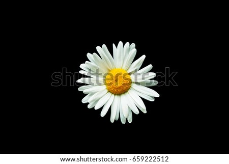 Head Daisy Flower White Petals Yellow Stock Photo Edit Now