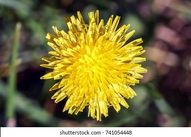 Head of a Dandelion  Flowering Plant