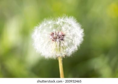 head of dandelion herb