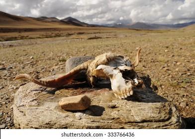 Head from dead animal, mountain desert, Ladakh, India