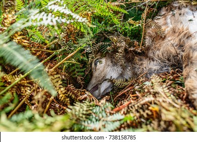 Head of dead young deer lying in ferns of forest ground.