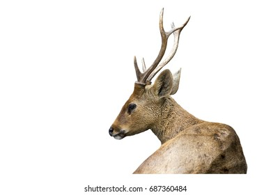 Head of deer isolated on white background