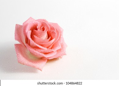 head of delicate pink rose with dew drops