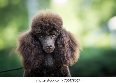 head detail portrait of adorable cute brown toy poodle