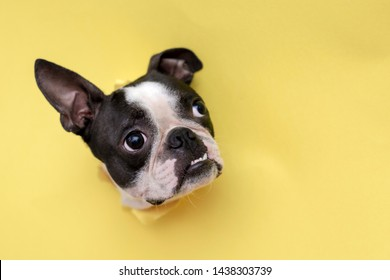 The head of the dog breed Boston Terrier peeking through the hole in yellow paper.Creative. Minimalism.