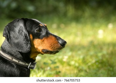 Head of a dog of a dachshund close up on a green background