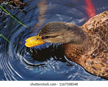 Head of a duck with yellow bill in a pond in close-up, the water throws circles around the beak.