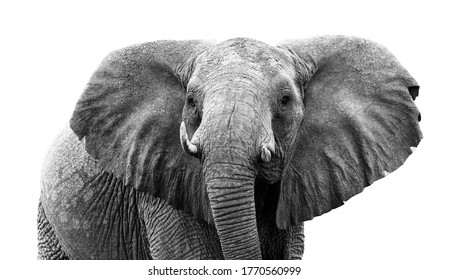 head of elephant isolated on white background. Wild animal.