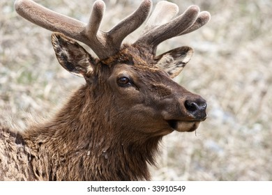 Head of an elk in Banff National Park, Alberta, Canada