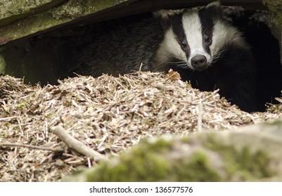 Head of a european badger, Meles meles