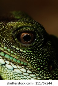 Head and eye of an adult agama (Physignathus cocincinu)