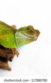 Head and face of an adult agama (Physignathus cocincinu)