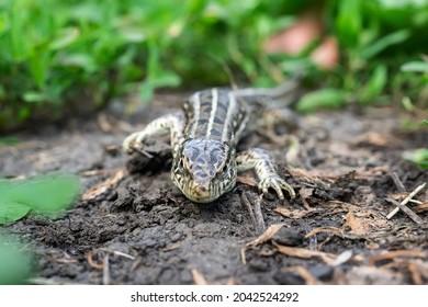 The head of a female lizard, macro photo of the head of a female lizard, Lacerta agilis - Shutterstock ID 2042524292