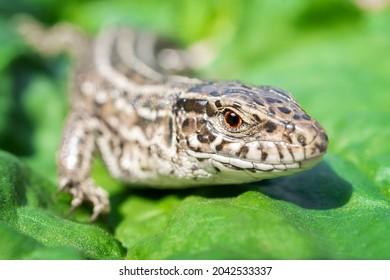 The head of a female lizard, macro photo of the head of a female lizard, Lacerta agilis - Shutterstock ID 2042533337