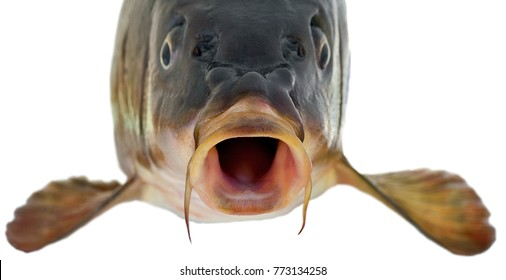 head fish big carp isolated on white background