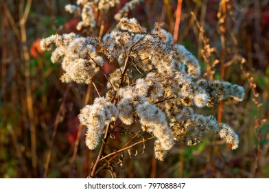the head of the fluffy grass, tender plant in the backlight