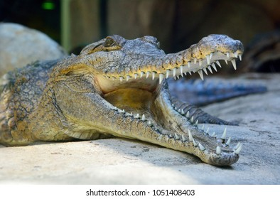 Head of freshwater crocodile (Crocodylus johnsoni) with open mouth.