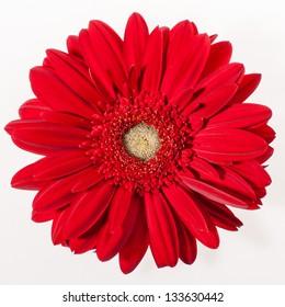 The head of the gerber petal