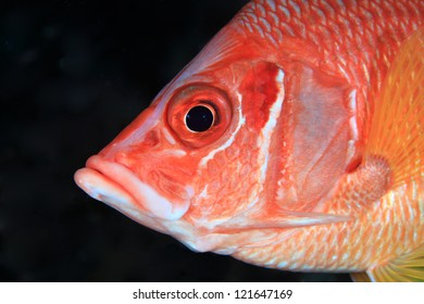Head of the giant squirrelfish in the tropical ocean