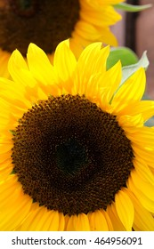 Head of a giant sunflower gives a vibrant reminder of the summer