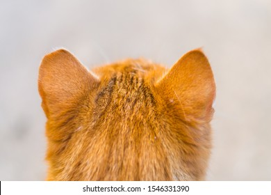 """the head of a ginger  cat with one ear cropped. This is called """"ear-tipping,"""" and is actually a sign that the cat has been the lucky beneficiary of a Trap/Neuter/Return effort."""