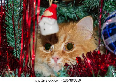 Head of ginger cat, which peeps from the branches and ornaments of an artificial Christmas tree, selective focus