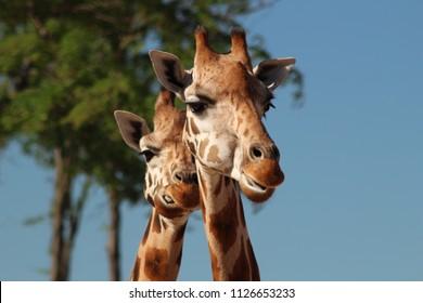 the head of the giraffe