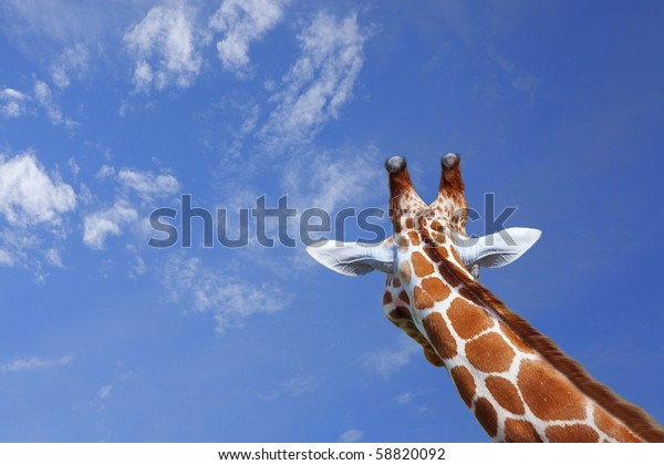 The head of a giraffe against blue sky