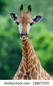 Head of a Giraffe in the Khao Kheow Open Zoo in Thailand