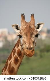 Head of Giraffe in a Zoo