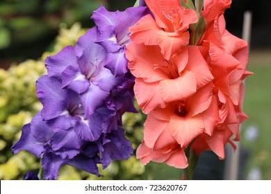 Head of  gladiolus flower in summer garden