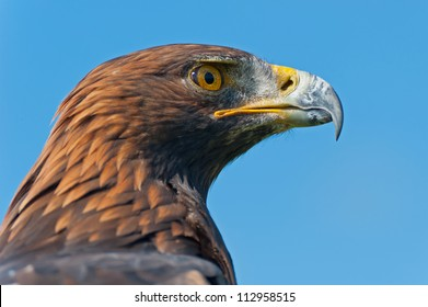 The head of a Golden Eagle in profile.