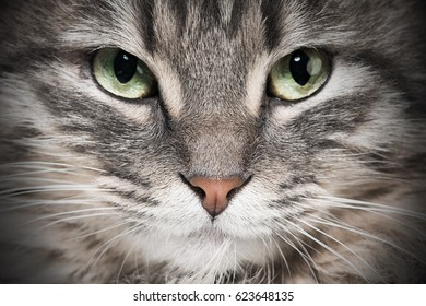 Head of a gray fluffy cat, close-up