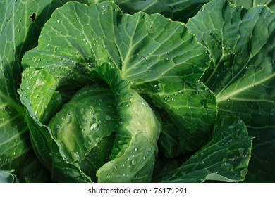 A head of green cabbage growing in the field, ready for harvest