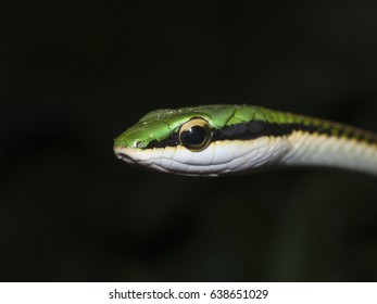 The head of a green headed tree aka mexican parrot snake against a black background